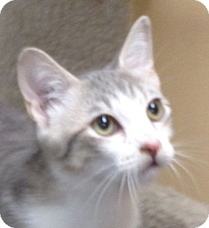 Domestic Shorthair Kitten for adoption in San Leandro, California - Jaime