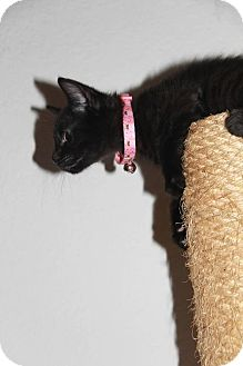 Domestic Shorthair Kitten for adoption in Santa Rosa, California - Dora
