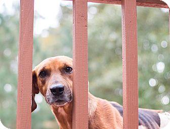 Redbone Coonhound Mix Dog for adoption in Richmond, Virginia - Champion **Tripawd**