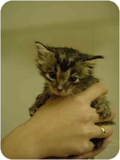 Domestic Shorthair Kitten for adoption in Davis, California - JC-05-5-1