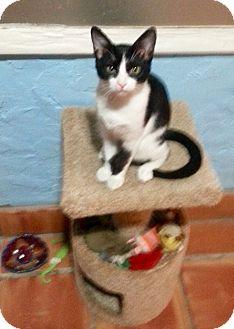 Domestic Mediumhair Kitten for adoption in West Palm Beach, Florida - Butch