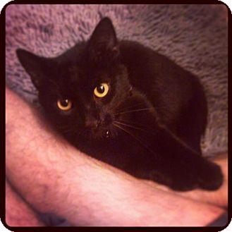 Domestic Shorthair Cat for adoption in Covington, Kentucky - Solomon