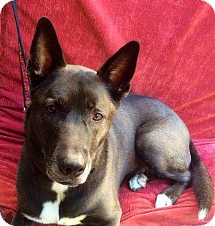 Shepherd (Unknown Type)/Siberian Husky Mix Dog for adoption in Corona, California - STELLA
