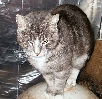 American Shorthair Cat for adoption in Wanaque, New Jersey - Blaze