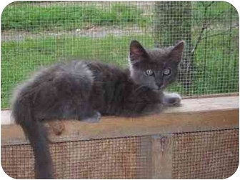 Domestic Mediumhair Cat for adoption in Tahlequah, Oklahoma - Mosby