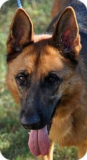 German Shepherd Dog Dog for adoption in Dripping Springs, Texas - Sahara
