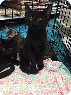 Domestic Mediumhair Kitten for adoption in Mansfield, Texas - Jordan