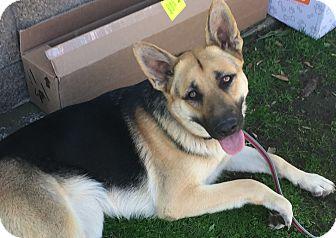Shepherd (Unknown Type) Mix Dog for adoption in San Diego, California - EMMA