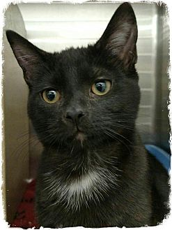 Domestic Shorthair Kitten for adoption in Pueblo West, Colorado - Corinna