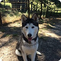 Siberian Husky Dog for adoption in Paso Robles, California - Icelyn
