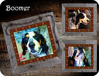 Bluetick Coonhound Dog for adoption in Ontario, Ontario - Boomer ADOPTED