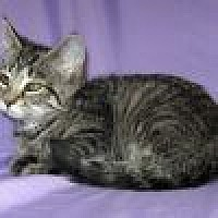 Adopt A Pet :: Tatiana - Powell, OH