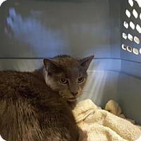 Adopt A Pet :: OLIVER - Camarillo, CA