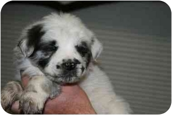 Australian Shepherd Mix Puppy for adoption in Mesa, Arizona - Juneau
