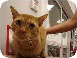Domestic Mediumhair Cat for adoption in Boca Raton, Florida - Bourbon
