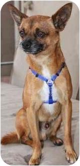 Chihuahua Mix Dog for adoption in Gilbert, Arizona - Dansin