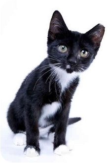 Domestic Shorthair Kitten for adoption in Randolph, New Jersey - Maria
