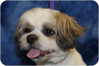 Shih Tzu Mix Dog for adoption in Broomfield, Colorado - Georgie