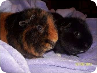 Guinea Pig for adoption in Grand Rapids, Michigan - Rick and Bip