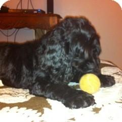 Cocker Spaniel Dog for adoption in Kannapolis, North Carolina - Max  Courtesy Post  -Adopted!