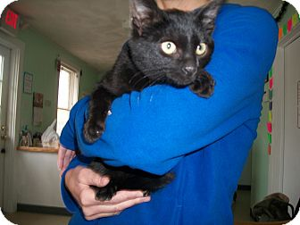 Domestic Shorthair Cat for adoption in Warwick, Rhode Island - Tate