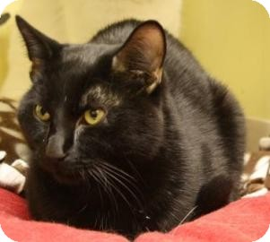 Domestic Shorthair Cat for adoption in West Des Moines, Iowa - Diamond