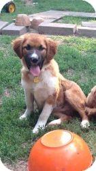 German Shepherd Dog Mix Puppy for adoption in Hancock, Michigan - Raven