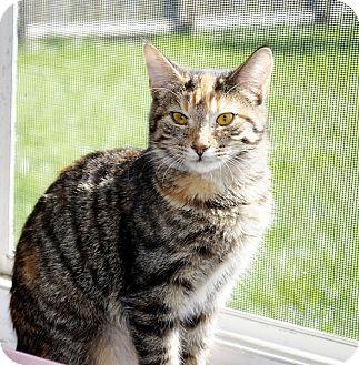 Domestic Shorthair Cat for adoption in Xenia, Ohio - Alicia