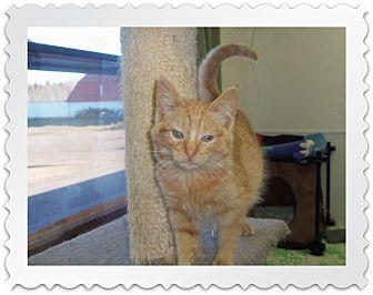 Domestic Shorthair Cat for adoption in Medford, Wisconsin - MORRIS