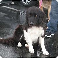 Adopt A Pet :: Tux - Seattle, WA