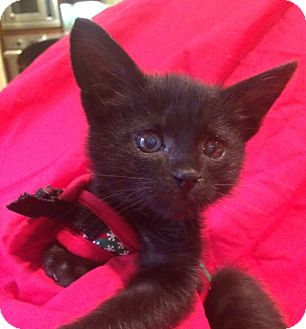 Domestic Shorthair Kitten for adoption in El Cajon, California - Tiny Tina