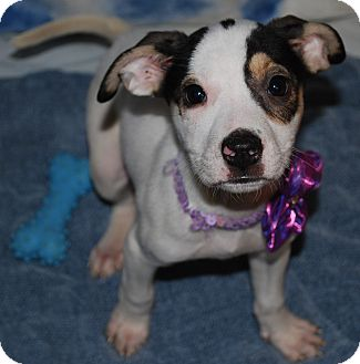 Terrier (Unknown Type, Medium)/Labrador Retriever Mix Puppy for adoption in Waupaca, Wisconsin - Jelly Bean