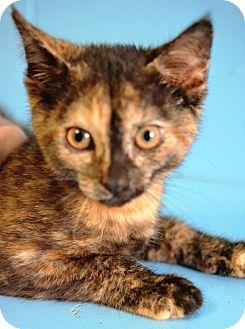 Domestic Shorthair Kitten for adoption in Savannah, Georgia - Sis