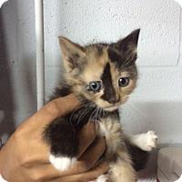 Adopt A Pet :: Blossom - Cranford/Rartian, NJ