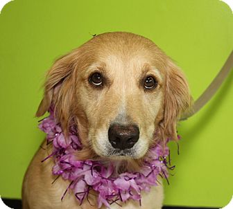 Golden Retriever Mix Dog for adoption in Clarksville, Tennessee - Coco
