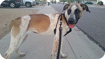 Labrador Retriever/Australian Cattle Dog Mix Dog for adoption in Phoenix, Arizona - Maggie