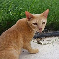 Domestic Shorthair Cat for adoption in Orlando-Kissimmee, Florida - Brody