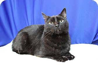 Domestic Shorthair Cat for adoption in Midland, Michigan - Rumbles