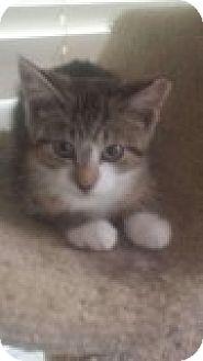 Domestic Shorthair Kitten for adoption in Delmont, Pennsylvania - Dixie