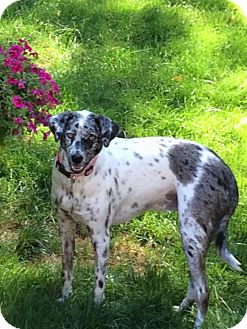 Australian Shepherd Mix Dog for adoption in Stamford, Connecticut - Tracie - What a Beauty !!!
