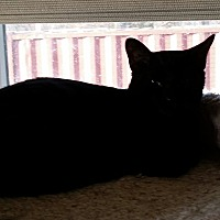 Domestic Shorthair Kitten for adoption in Old Bridge, New Jersey - Lucky