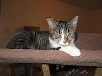 Domestic Shorthair Cat for adoption in Orland Park, Illinois - Linnea