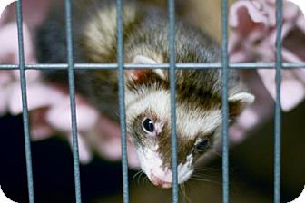 Ferret for adoption in West Des Moines, Iowa - Trouble