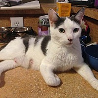 Domestic Shorthair Cat for adoption in Trevose, Pennsylvania - Mina