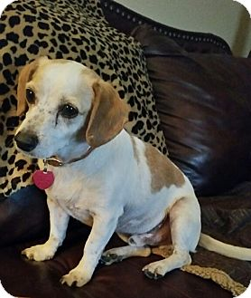Jack Russell Terrier/Dachshund Mix Dog for adoption in Costa Mesa, California - Boomer