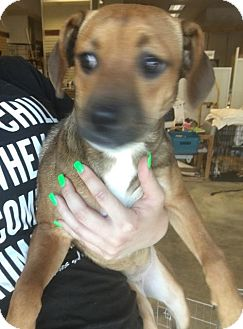 Boxer Mix Puppy for adoption in Chico, California - Candice
