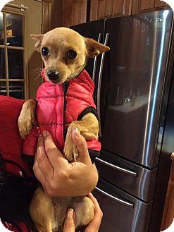 Chihuahua Mix Dog for adoption in Ashville, Ohio - Piper