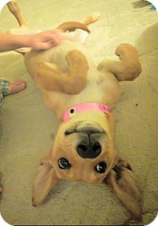 Carolina Dog Puppy for adoption in Las Vegas, Nevada - Rain