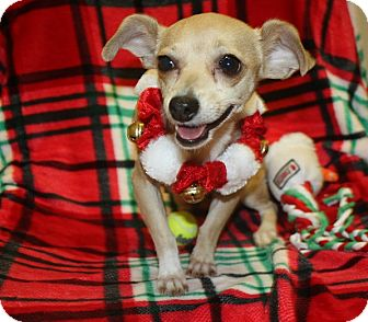 Chihuahua Mix Dog for adoption in Henderson, Nevada - Romy