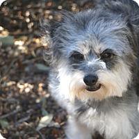 Adopt A Pet :: Devon - Norwalk, CT